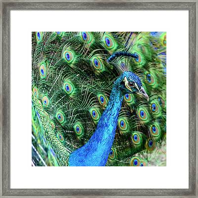 Framed Print featuring the photograph Peacock by Steven Sparks