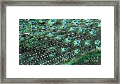 Peacock Tail Feathers Framed Print
