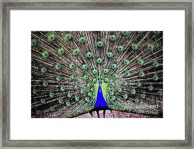 Peacock Framed Print by Vivian Krug Cotton