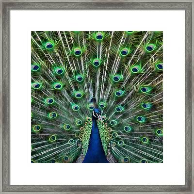 Peacocking Framed Print