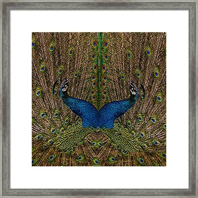 Peacocks Framed Print by Jack Zulli