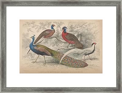 Peacocks Framed Print