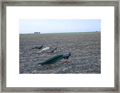 Peacocks On A Hog Farm In Kansas Framed Print by Joel Sartore
