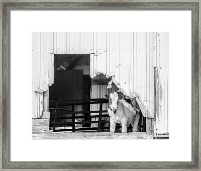 Framed Print featuring the photograph Peak-a-boo Calf by Dan Traun