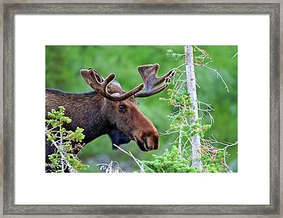 Framed Print featuring the photograph Peaking Moose by Scott Mahon
