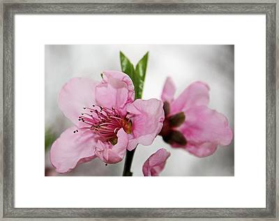 Framed Print featuring the photograph Plum Blossom by Kristin Elmquist