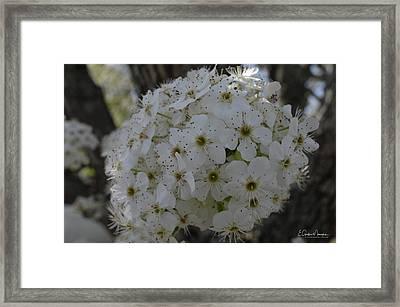 Pear Blossoms Framed Print