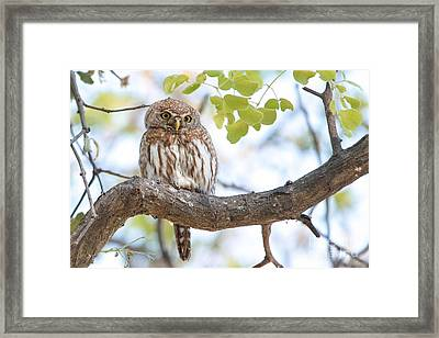 Framed Print featuring the photograph Pearl-spotted Owlet -  Chevechette Perlee - Glaucidium Perlatum   by Nature and Wildlife Photography