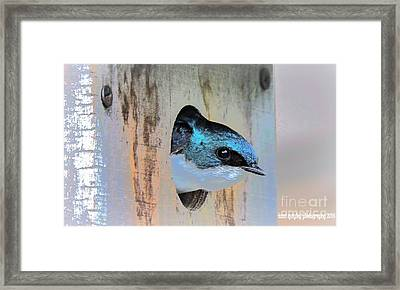 Peek-a-blue Framed Print