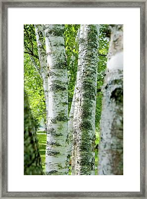 Framed Print featuring the photograph Peek A Boo Birch by Greg Fortier