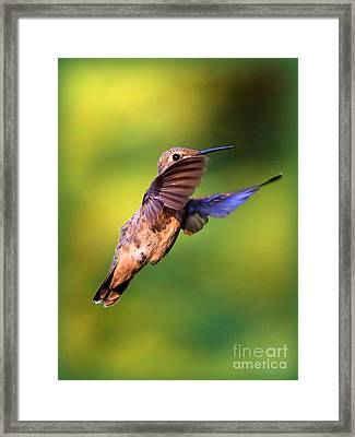 Peek-a-boo Hummingbird Framed Print