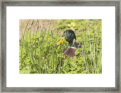 Peeking Out Mallard Framed Print by Kate Brown