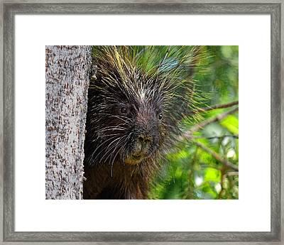 Peeking Porcupine Framed Print