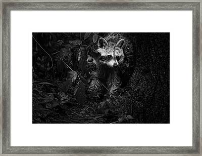 Peeking Through The Poison Ivy Mommy Raccoon Black And White Framed Print by Mother Nature