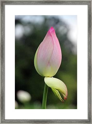 Peeling Framed Print by Carolyn Stagger Cokley