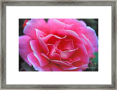 Framed Print featuring the photograph Peggy Lee Rose Bridal Pink by David Zanzinger