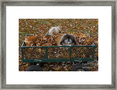 Pekingese Dog In Wagon Framed Print by Kenneth M. Highfill