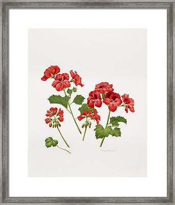 Pelargonium Geranium Framed Print by Sally Crosthwaite