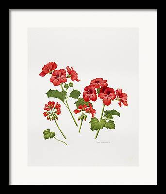 Red Geraniums Drawings Framed Prints