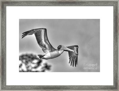 Pelican-4443 Bnw Framed Print