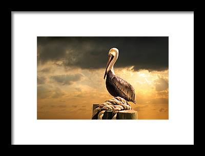 Pelican Framed Prints