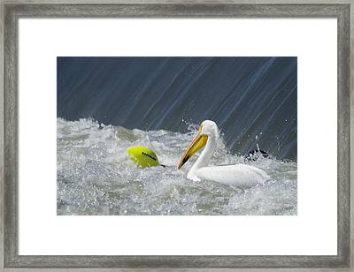 Pelican And A Football Framed Print by Jeff Swan