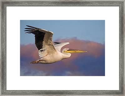 Pelican Framed Print by Basie Van Zyl