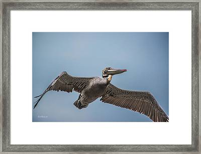 Pelican Briefly Framed Print by Bill Roberts