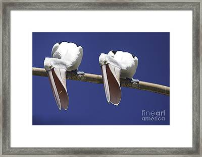 Pelican Burp Framed Print