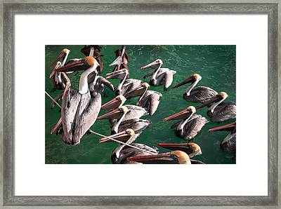 Pelican Choir Rehearsal Framed Print by Karen Wiles