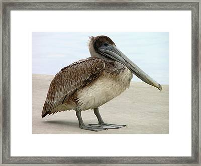 Pelican Close-up Framed Print by Al Powell Photography USA