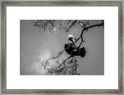 Pelican Connection Framed Print