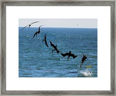 Pelican Dive 7 Photos In 2.5 Seconds Framed Print