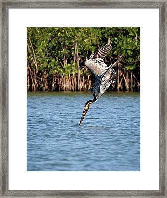 Pelican Dive Framed Print by Dawn Currie