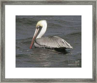 Framed Print featuring the photograph Pelican by Donna Brown