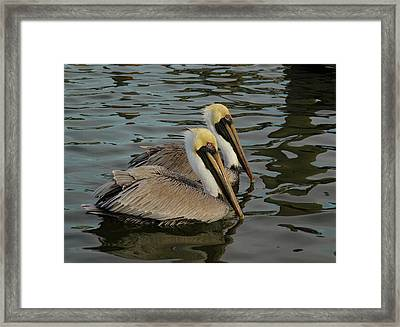 Framed Print featuring the photograph Pelican Duo by Jean Noren