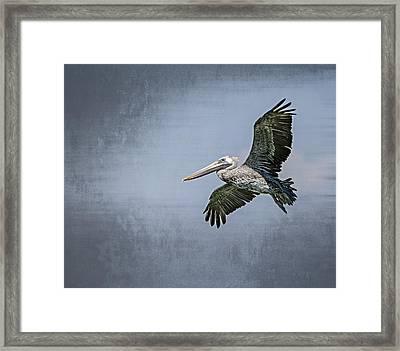 Pelican Flight Framed Print by Carolyn Marshall