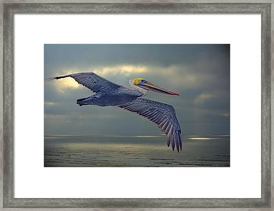 Pelican Flight Framed Print