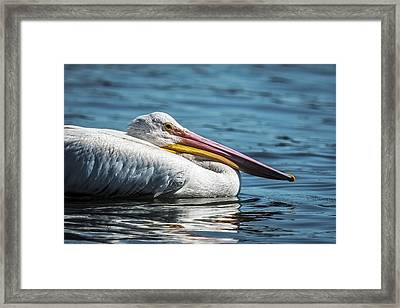 Pelican Floating By Framed Print by Paul Freidlund