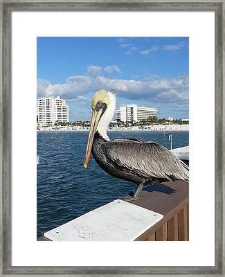 Pelican -florida Framed Print