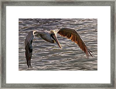 Pelican Fly-by Framed Print