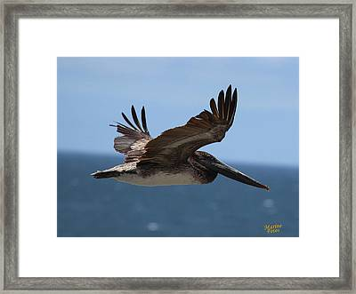 Pelican Flying Wings Up  Framed Print