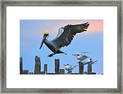 Pelican Four-zero On Short Final Framed Print by Don Mercer