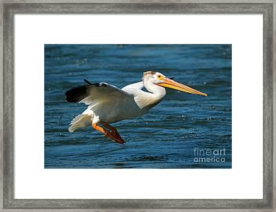 Pelican Glide Framed Print