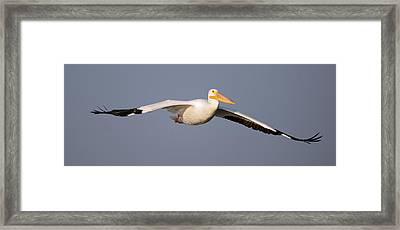 Pelican Gliding In Framed Print