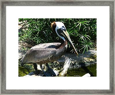 Pelican Framed Print by Greg Patzer