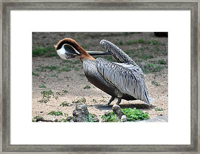 Framed Print featuring the photograph Pelican Heart by Teresa Blanton