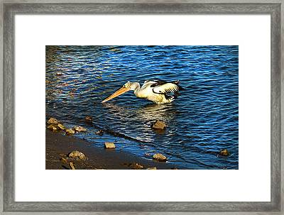 Pelican In Action Framed Print by Susan Vineyard