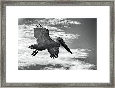 Pelican In Flight Framed Print by AJ Schibig
