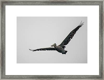 Pelican In Flight Framed Print by Bill Mock